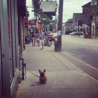 Toronto Pitbull